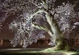 What If Trump Chopped Down The CherryTree?